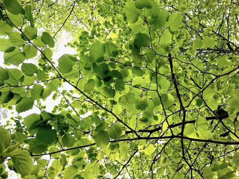 WEBINAR: Heilkundliches und Kulinarisches zu heimischen Laubbäumen