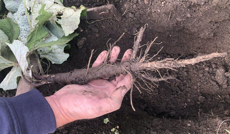Webinar: Wilde Wurzeln im Herbst erkennen und nützen